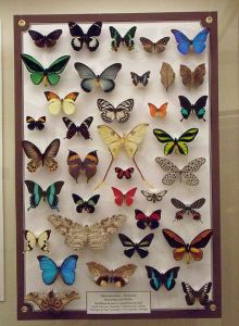 439px-A_butterfly_collection